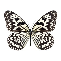 White butterfly with black stripes on wing isolated on a white background