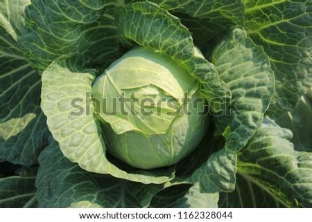 white cabbage. Cabbage variety