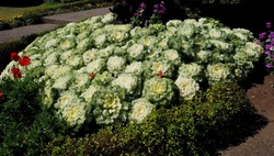 white cabbage ornamental flower in the garden at Chiengmai Thailand