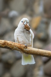 White Cacatua goffiniana on a branch nibbles a stone
