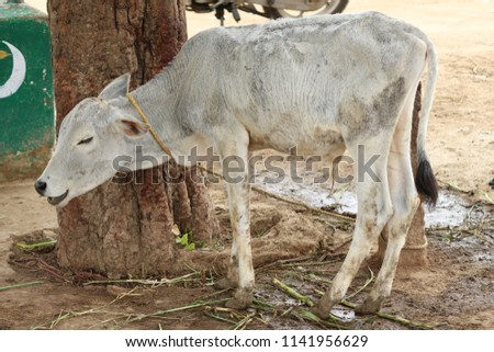 white calf  tied to tree in Indian Village