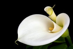 White calla lilies, over black background, in soft focus.