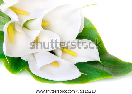 white Calla lilies with big green leaf isolated on a white background