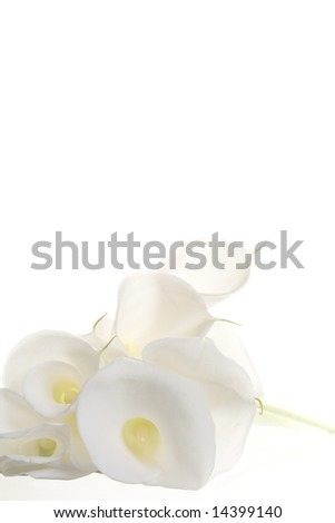 White callas - stock photo