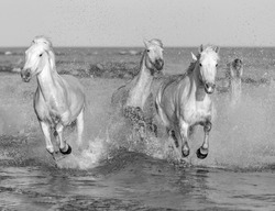 White Camargue Horses galloping along the beach in Parc Regional de Camargue - Provence, France (black and white)