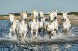 White Camargue Horses galloping along the beach in Parc Regional de Camargue - Provence, France.