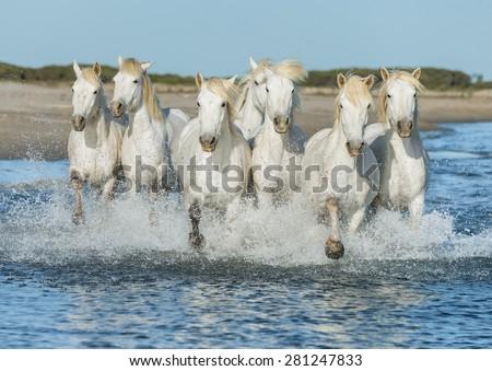 white camargue horses galloping ...