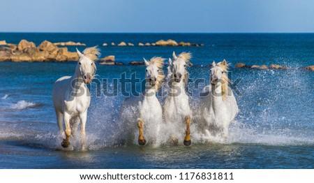 White Camargue Horses galloping along the sea beach. Parc Regional de Camargue. France. Provence.