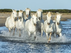 White Camargue Horses running on the beach in Parc Regional de Camargue - Provence, France