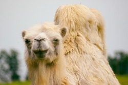 White camel close-up in a zoo