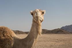 White camel standing on the Egyptian desert
