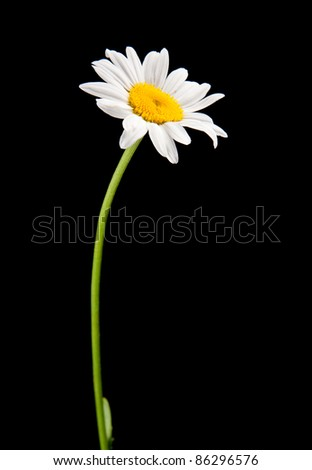 white camomile isolated on black