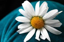 white camomile on a velvet turquoise background