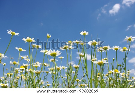 Stock Photo white camomile on blue sky