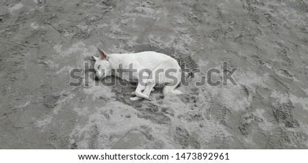 White  canine lying in sand presumably sleeping. #1473892961