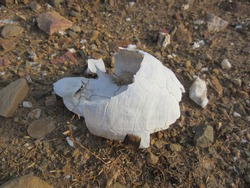White carapace of a tortoise against a stoney brown soil background.