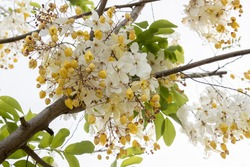 White Cassia fistula or Cassia Siam White flowers blooming.