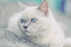 White cat and face expression on floor, looking someone on the right direction