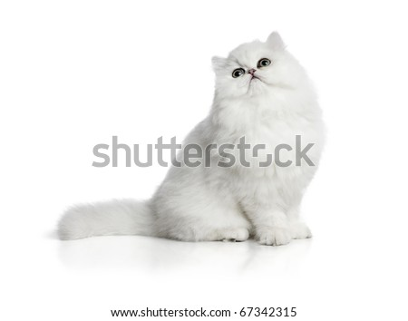 White cat Chinchilla on white background