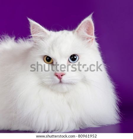 White cat head on purple background