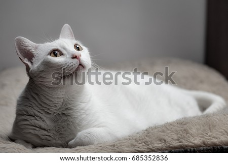 White cat looking up, lying on the sofa bed with ears to the back of the head. Attentive Behavior