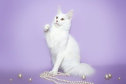 White cat Maine Coon playing with beads on a pink background
