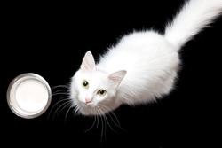 white cat & milk