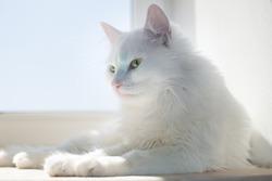 white cat near window