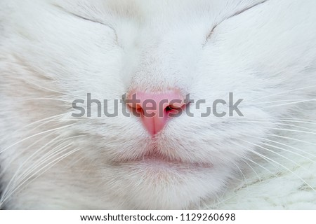 White cat. Nose, lips, mustache and eyes close-up.