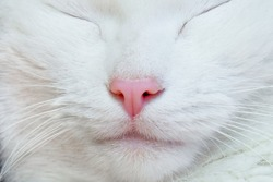 White cat. Nose, lips, mustache, fur and eyes close-up.