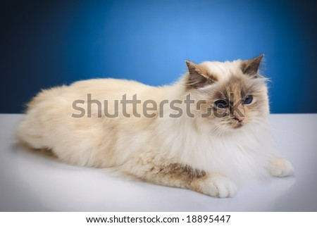 White cat on a white reflective table over blue