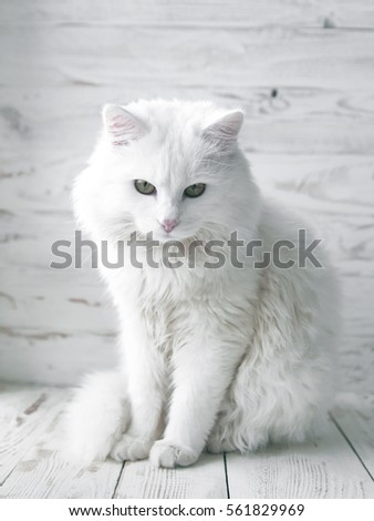 Stock Photo white cat on a white wooden background