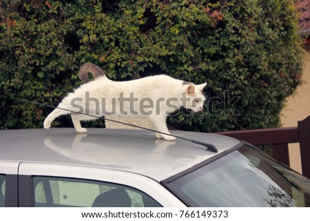 White cat on car. Cat on roof of personal car. This dynamic cat is like white Panther (Jaguar) and could serve as logo (emblem, brand name) for an automotive company. Design solution