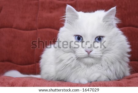 White cat on red couch - stock photo