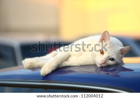 white cat on the car