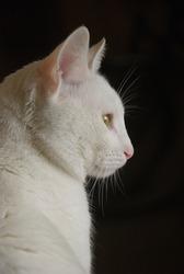 White cat portrait looking the window