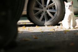 White cat sits on the road. Medium plan
