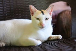 White cat sitting in a bench with fierce looks face