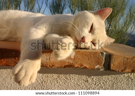 White cat snoozing on a wall in the evening sun.