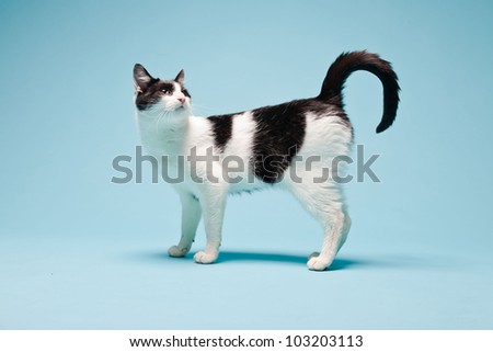 White cat with black spots isolated on light blue background. Studio shot.