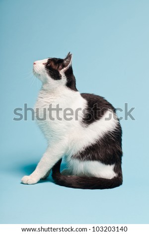 White cat with black spots isolated on light blue background. Studio shot. - stock photo