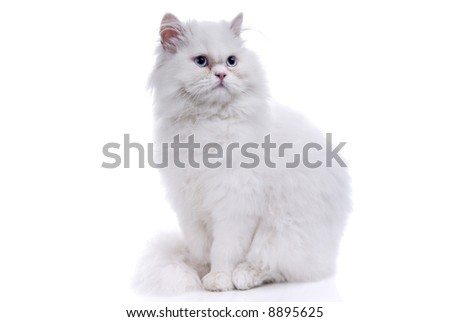 White cat with blue eyes. On a white background