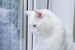 white cat with blue eyes sitting on the window sill and looking out the window