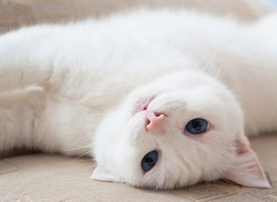 White cat with blue eyes starring at camera