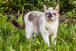 white cat with dark spots and blue eyes walks in the summer on the grass