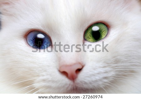 white cat with different colored eyes close-up