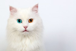 White cat with different colored eyes, heterochromia in cats
