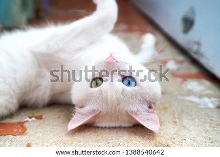 White cat with different eyes. Odd-eyed kitten. Cat with 2 different-colored eyes, heterocromatic eyes — Turkish Angora. It is a cat with heterochromia. Cat looking straight, on the grey background Foto stock ©