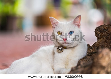 White cat with two colored eyes The most beautiful and fascinating. One eye blue The other side is amber. There was a small bell on his neck, leaning on a rock. Сток-фото ©