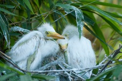 White cattle egret young click on the nest at forest, yellow beak baby White Egret with fuzz and pin feathers growing up. Save Birds, Save Environment concept.